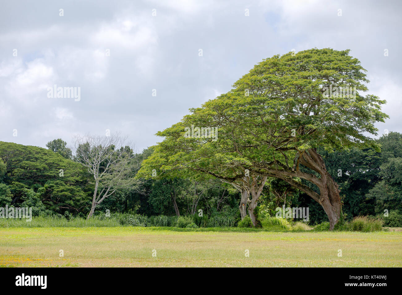 Large monkeypod tree, Albizia saman, in Oahu, Hawaii growing in a field at the edge of a forest leaning towards Stock Photo