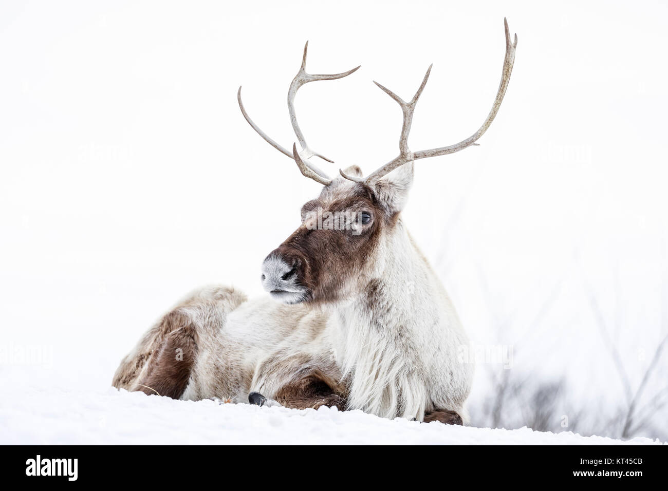 Reindeer, also known as the Boreal Woodland Caribou in North America, Rangifer tarandus, captive animal, Manitoba, - Stock Image