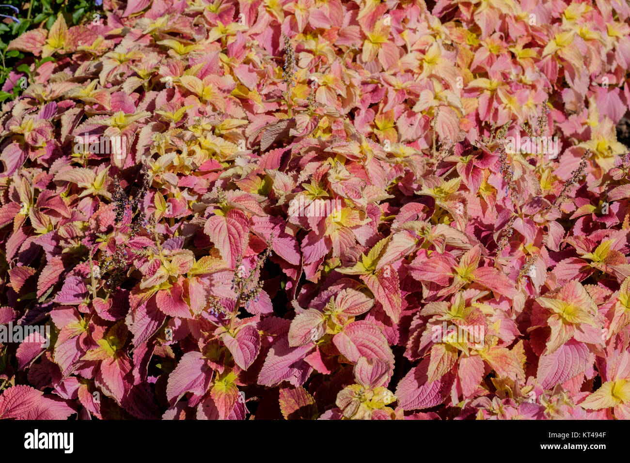 Coleus 'sedona', Solenostemon scutellarioides, growing in a botanical garden in Oklahoma City, Oklahoma, USA. Stock Photo