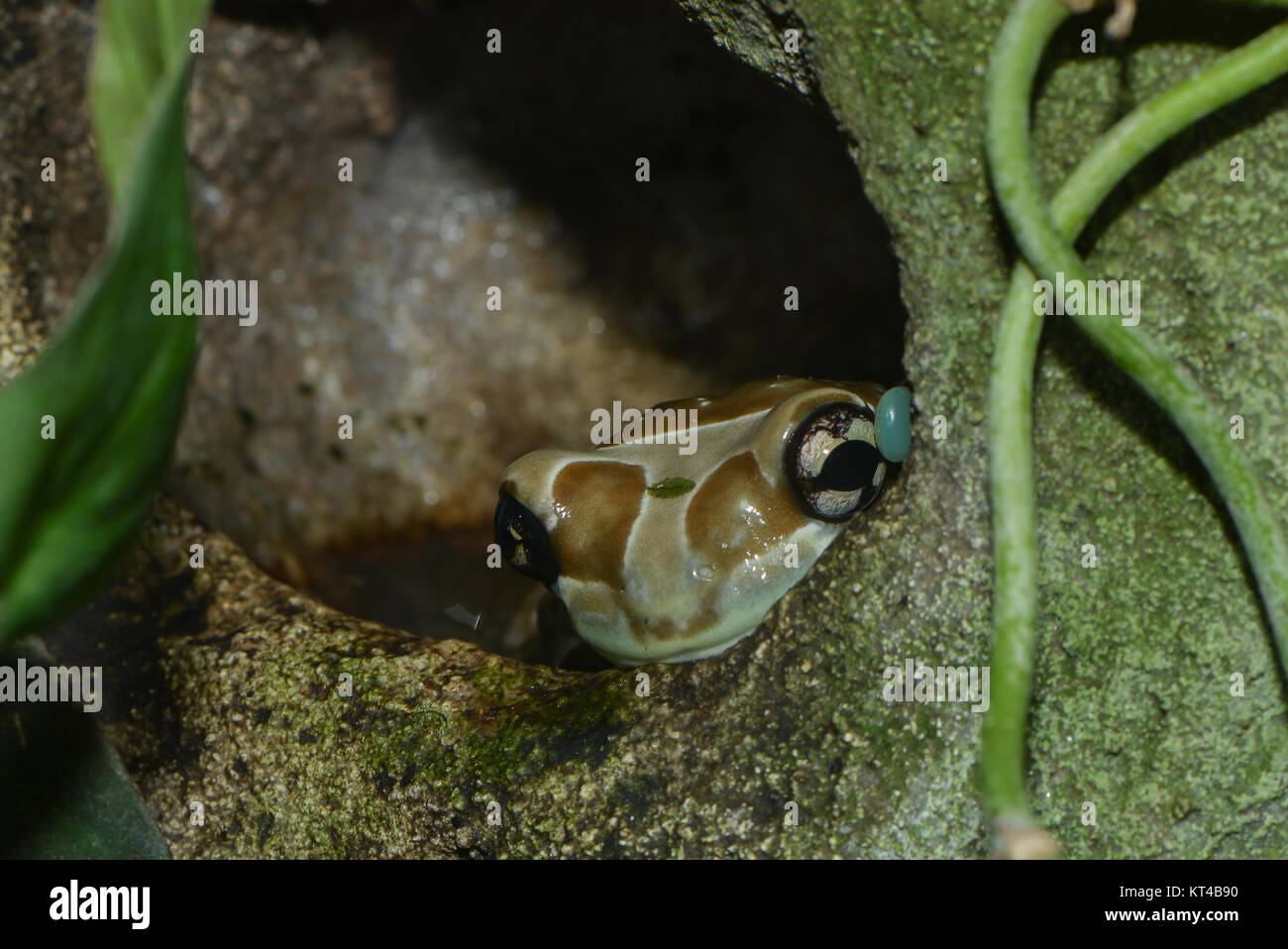 close up of a poison dart frog - Stock Image