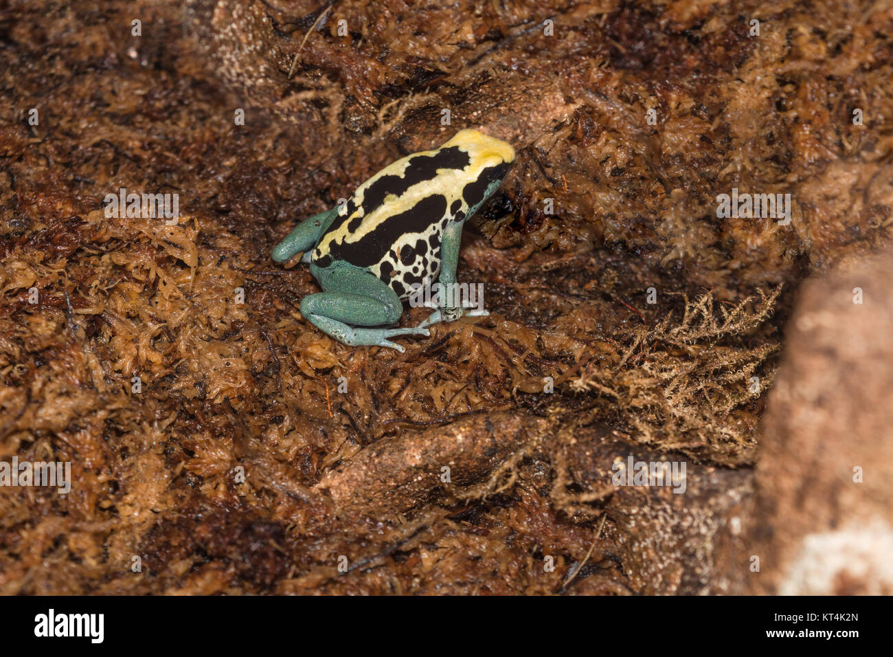 yellow poison dart frog with black dots - Stock Image