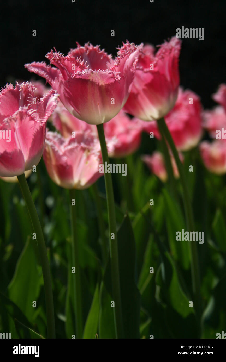 Long Stem Pink and White fringed tulips - Stock Image