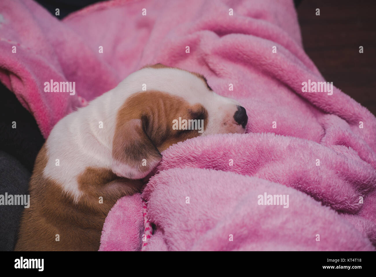 A pit bull mix puppy sleeps on a pink blanket. - Stock Image
