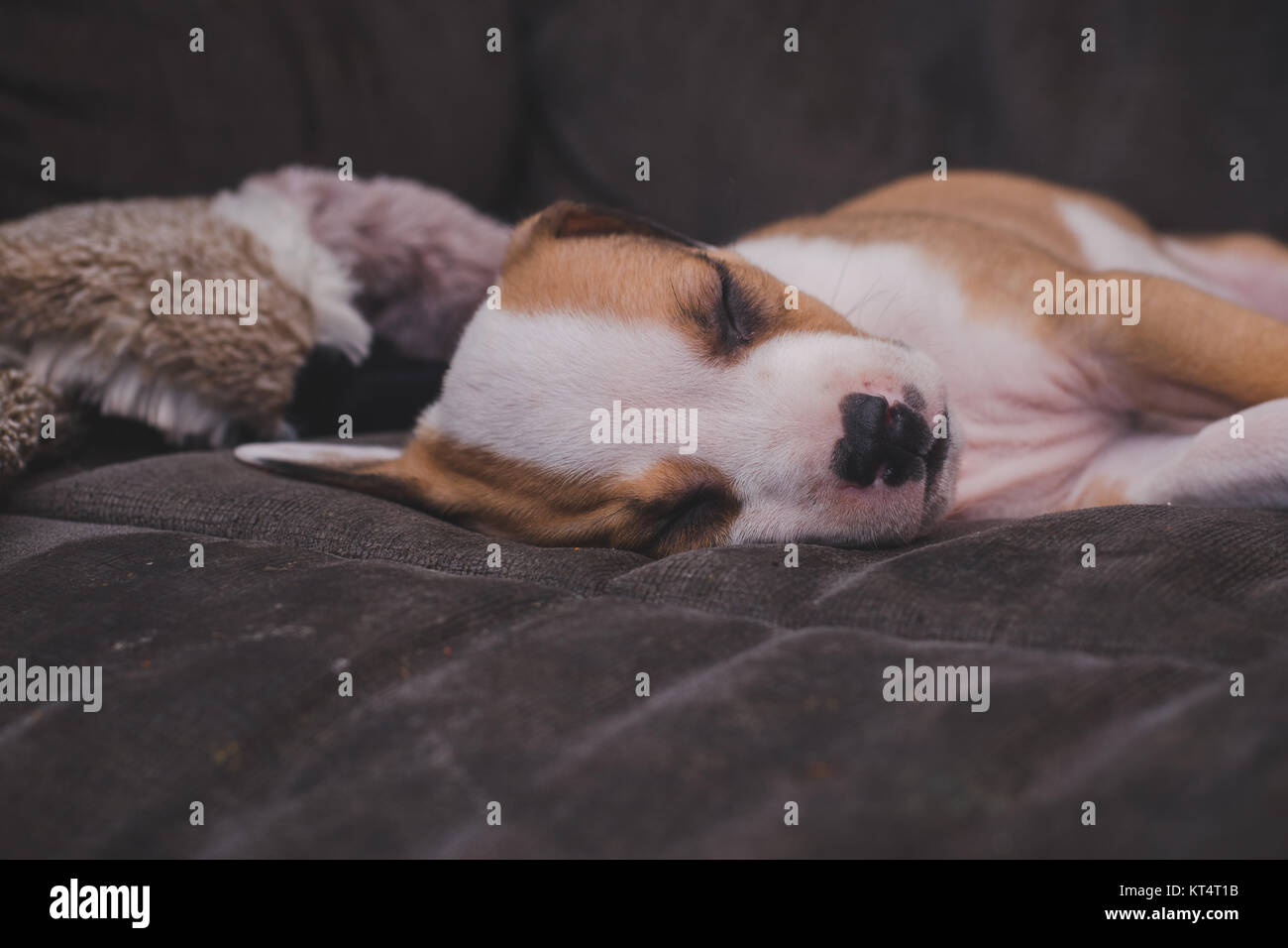 A pit bull mix 7 week old puppy sleeps on a gray couch. - Stock Image