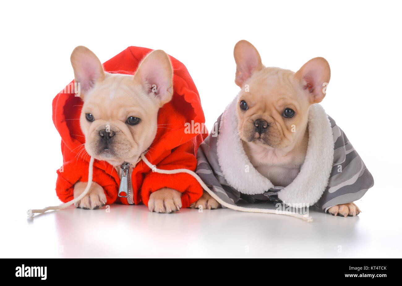 two french bulldog puppies wearing winter jackets Stock