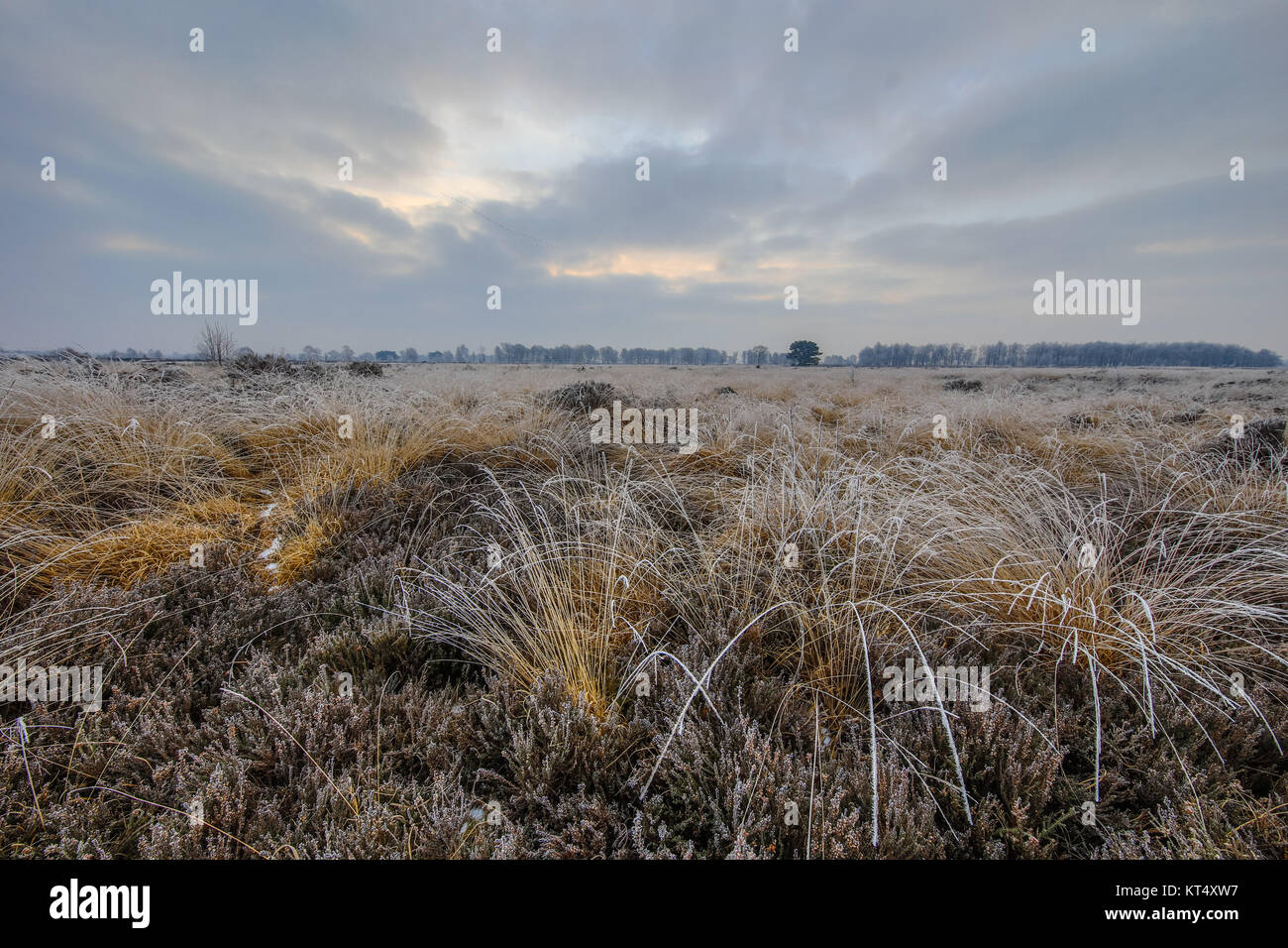 Winter morning sunrise over clumps of tussock sods with hoarfrost in balloerveld nature reserve with frosty heathland - Stock Image