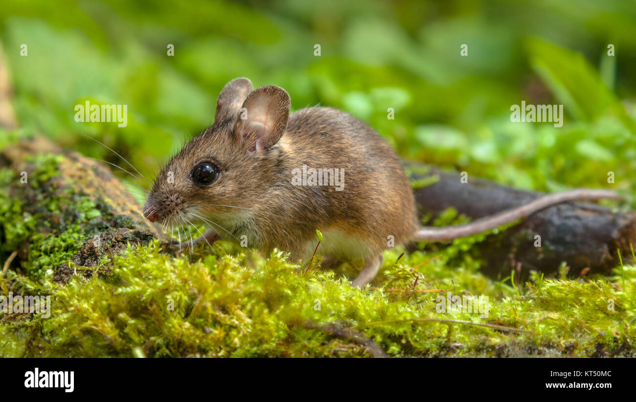 Cute Wild Wood mouse (Apodemus sylvaticus) walking on the forest floor with lush green vegetation - Stock Image