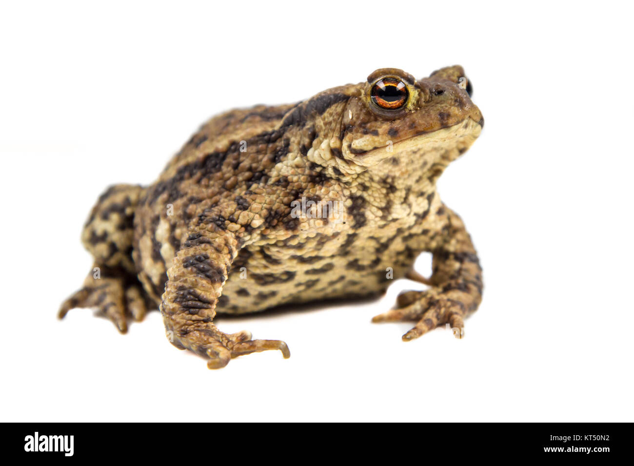 European common toad (Bufo bufo) isolated on white background Stock Photo