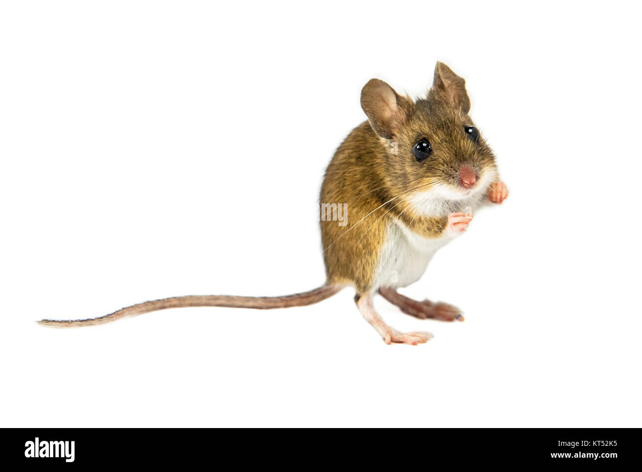 Wood mouse (Apodemus sylvaticus) with cute brown eyes standing and about to jump on white background - Stock Image
