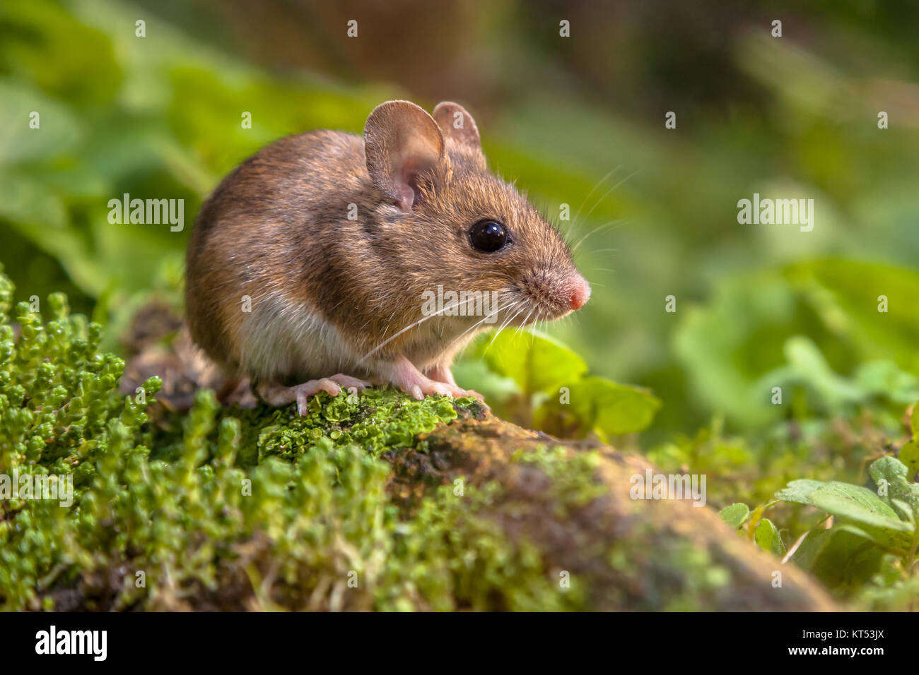 Cute Wild Wood mouse resting on a stick on the forest floor with lush green vegetation - Stock Image