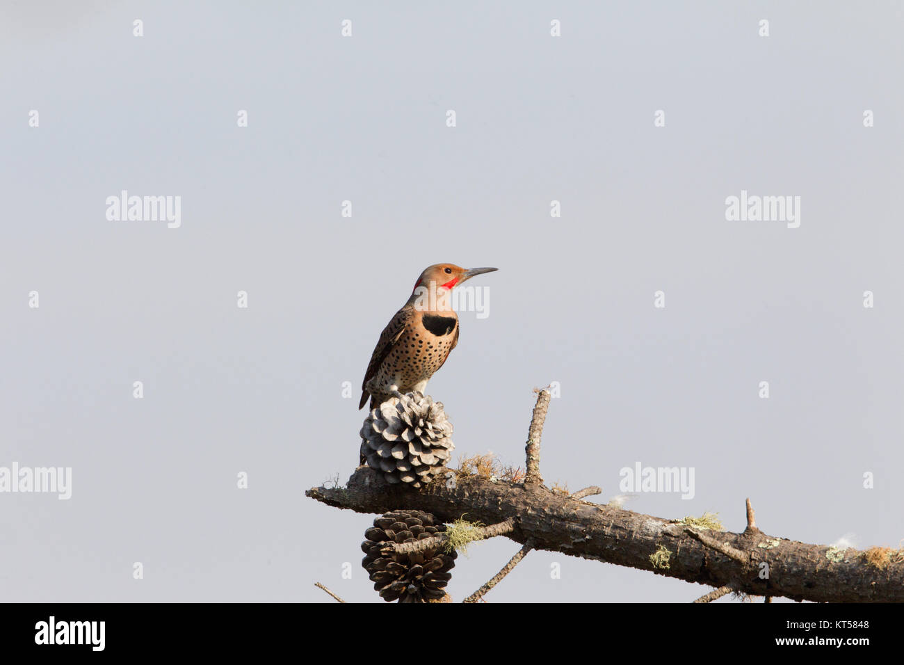 Northern Flicker perched in Pine Tree - Stock Image