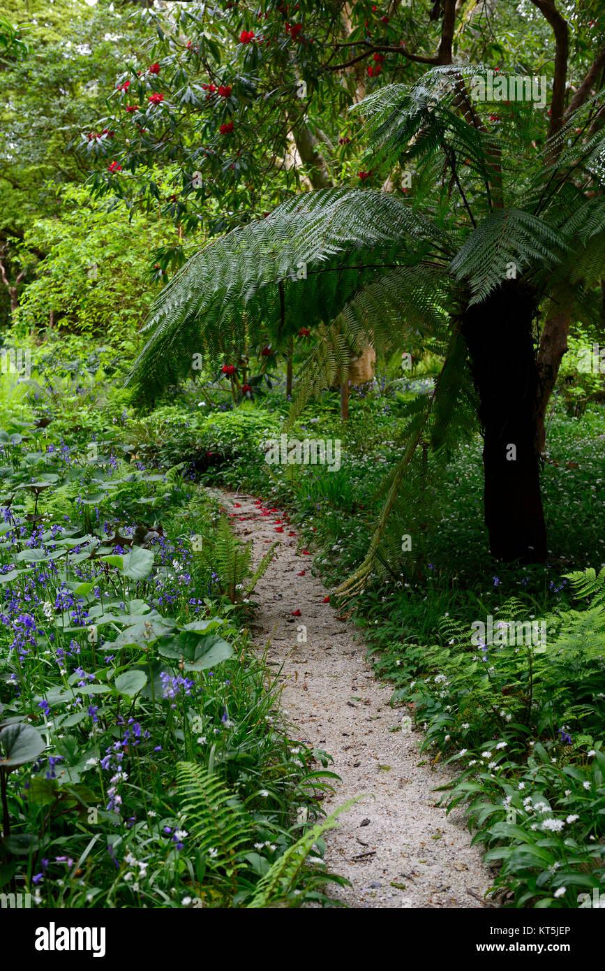 Dicksonia Antartica,Tree Fern,bluebells,Allium ursinum,wild garlic,white flowers,Mount Usher Gardens,Wicklow,William - Stock Image