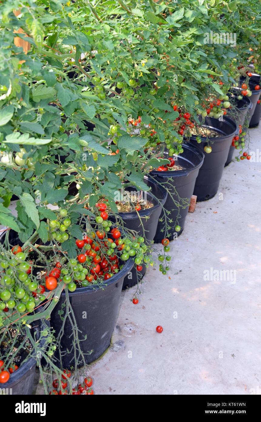 Planter Des Tomates En Pot planter tomato stock photos & planter tomato stock images