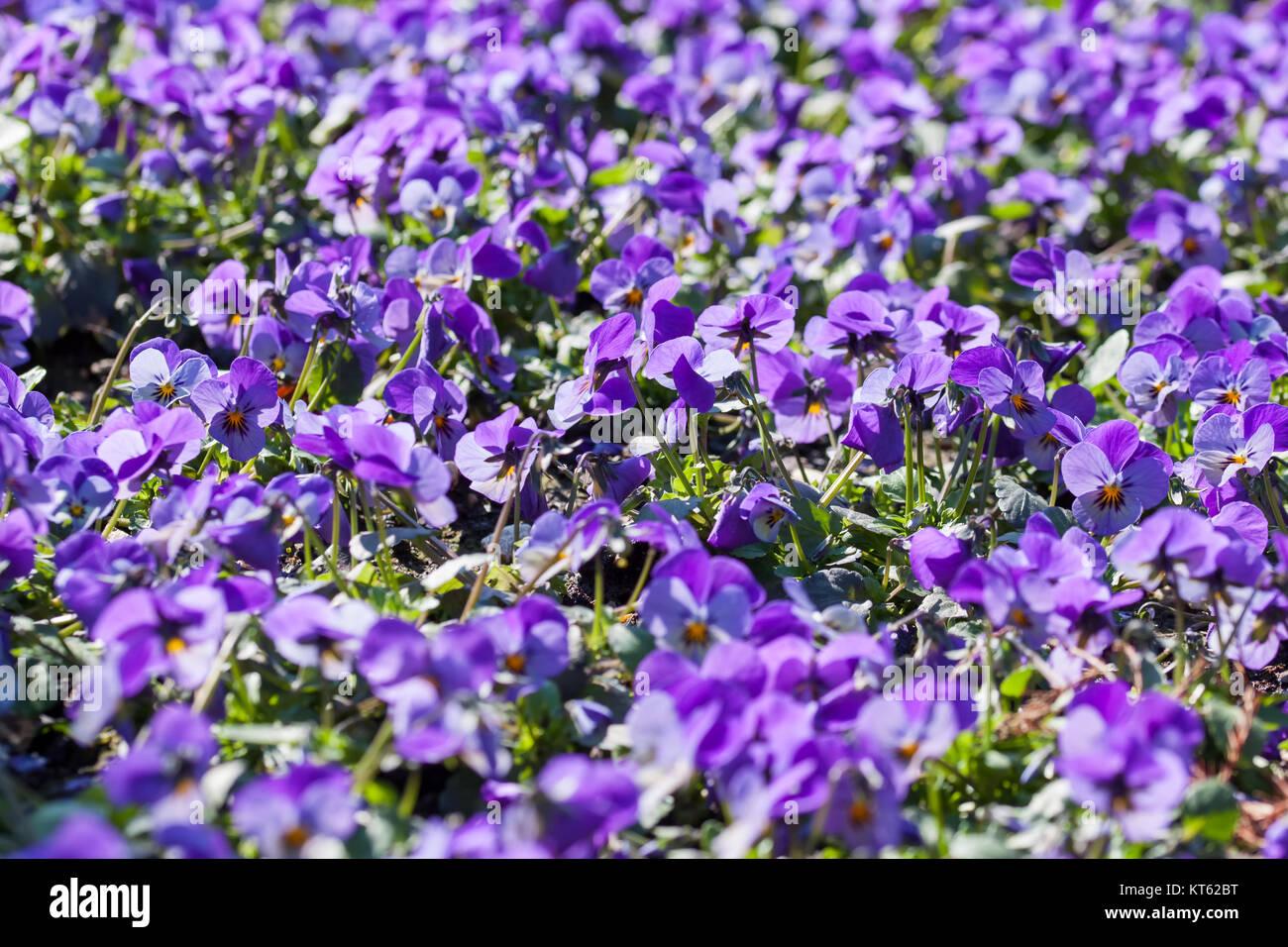 Ein Blütenmeer - lilafarbene Stiefmütterchen Stock Photo