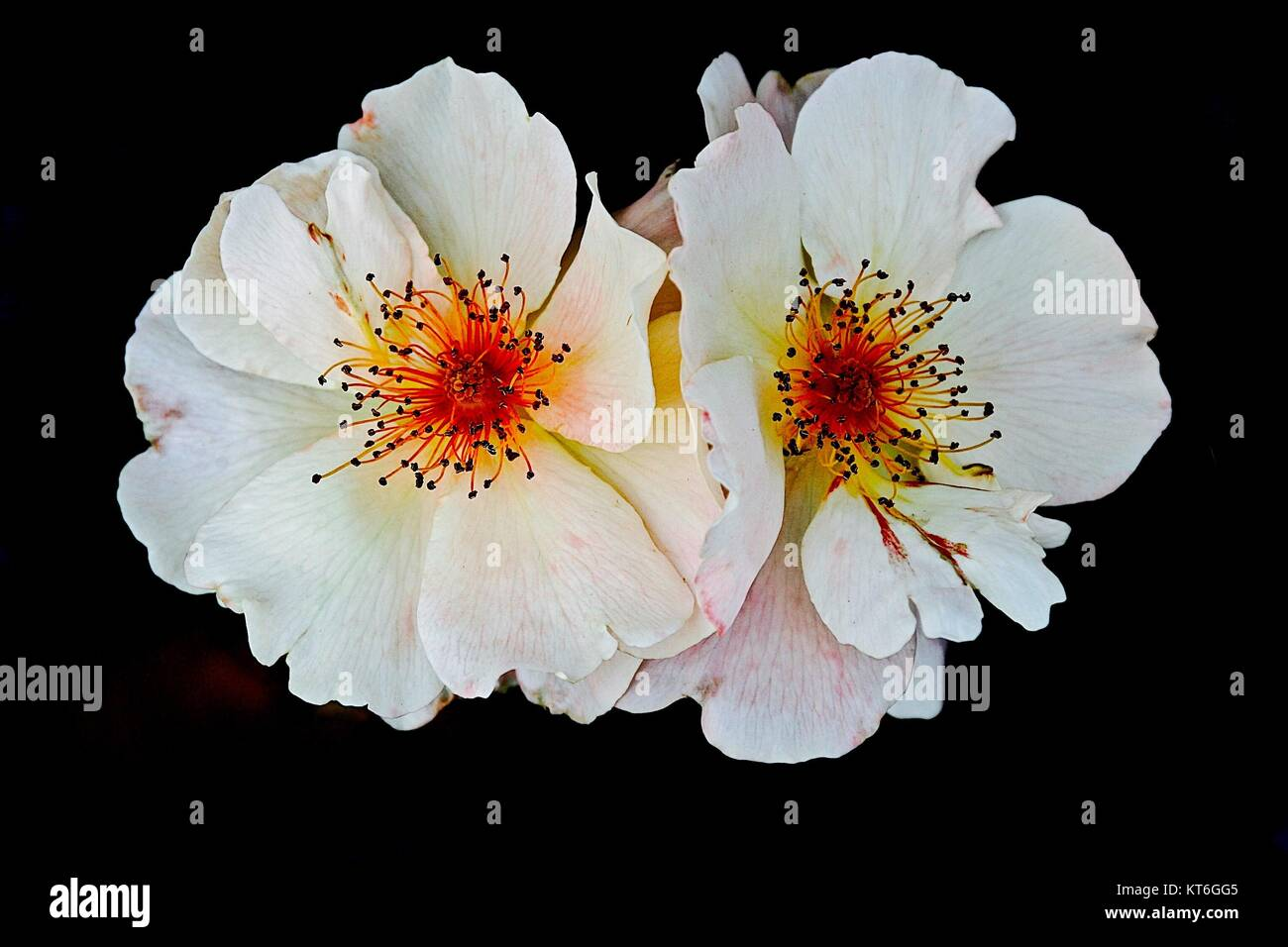 Flower power-natures beauty against a black background - Stock Image