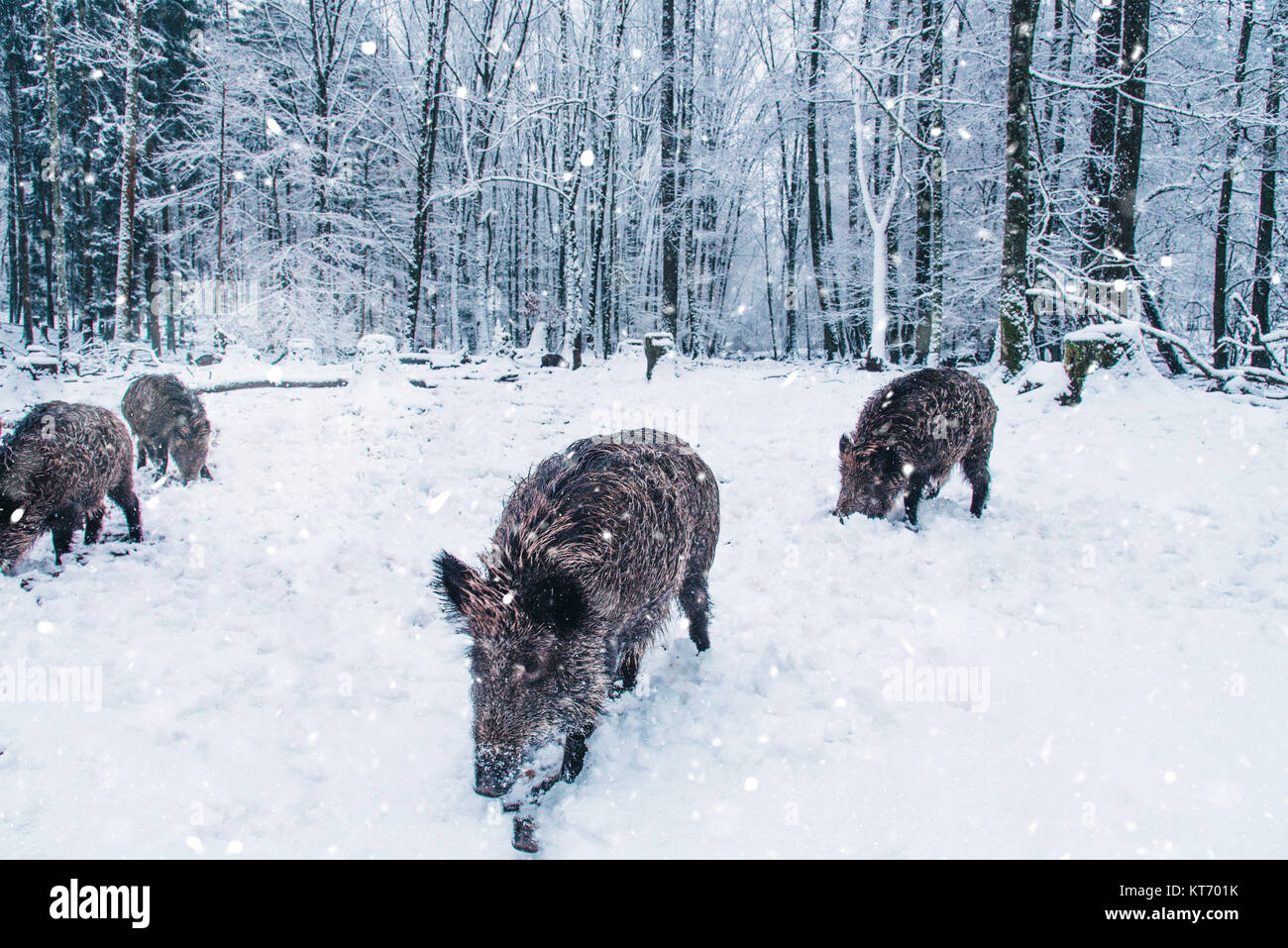 Wild boars in the winter Black Forest, Germany. - Stock Image