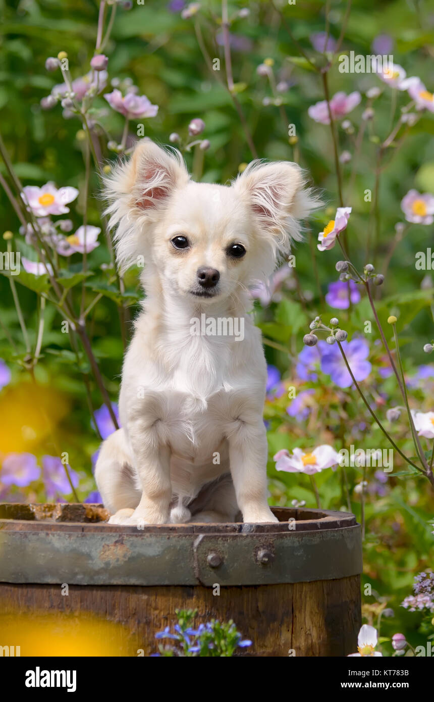 A cute long-haired cream white colored Chihuahua dog puppy sitting in a flowering garden. Stock Photo