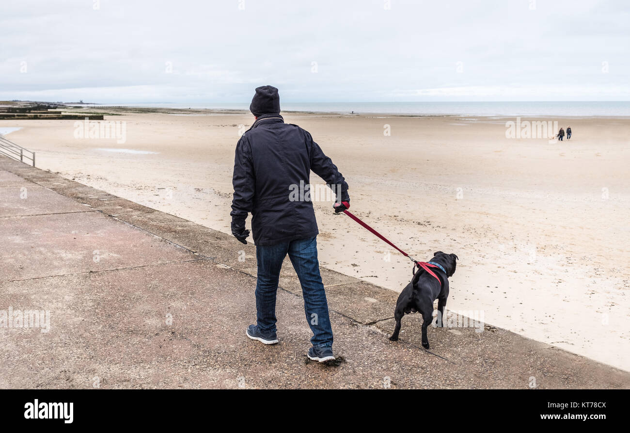 staffordshire bull terrier dog pulling on a harness to try and go in a different direction to his owner on a promenade - Stock Image