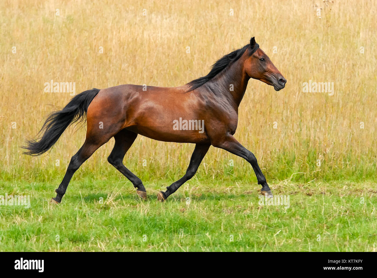 German Trotter, a horse breed, brown colored mare runs at a smart trot in the green countryside, Germany. - Stock Image