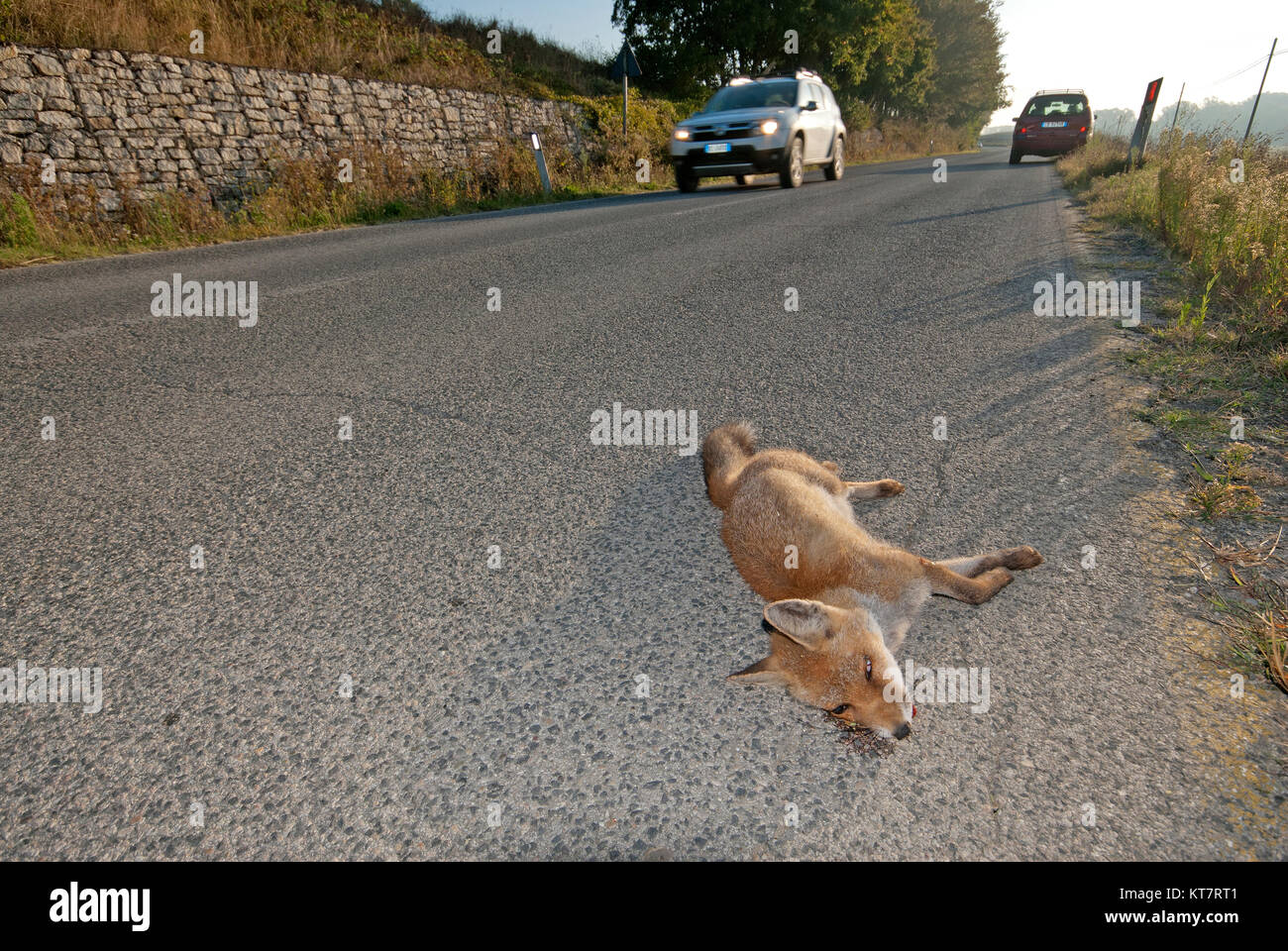 Red fox (Vulpes vulpes) killed on the road, Umbria, Italy - Stock Image