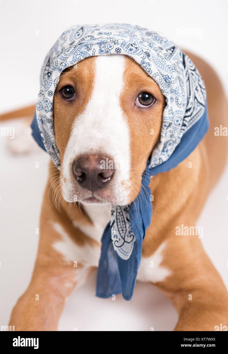 Dog Wearing Bandana Stock Photos Amp Dog Wearing Bandana
