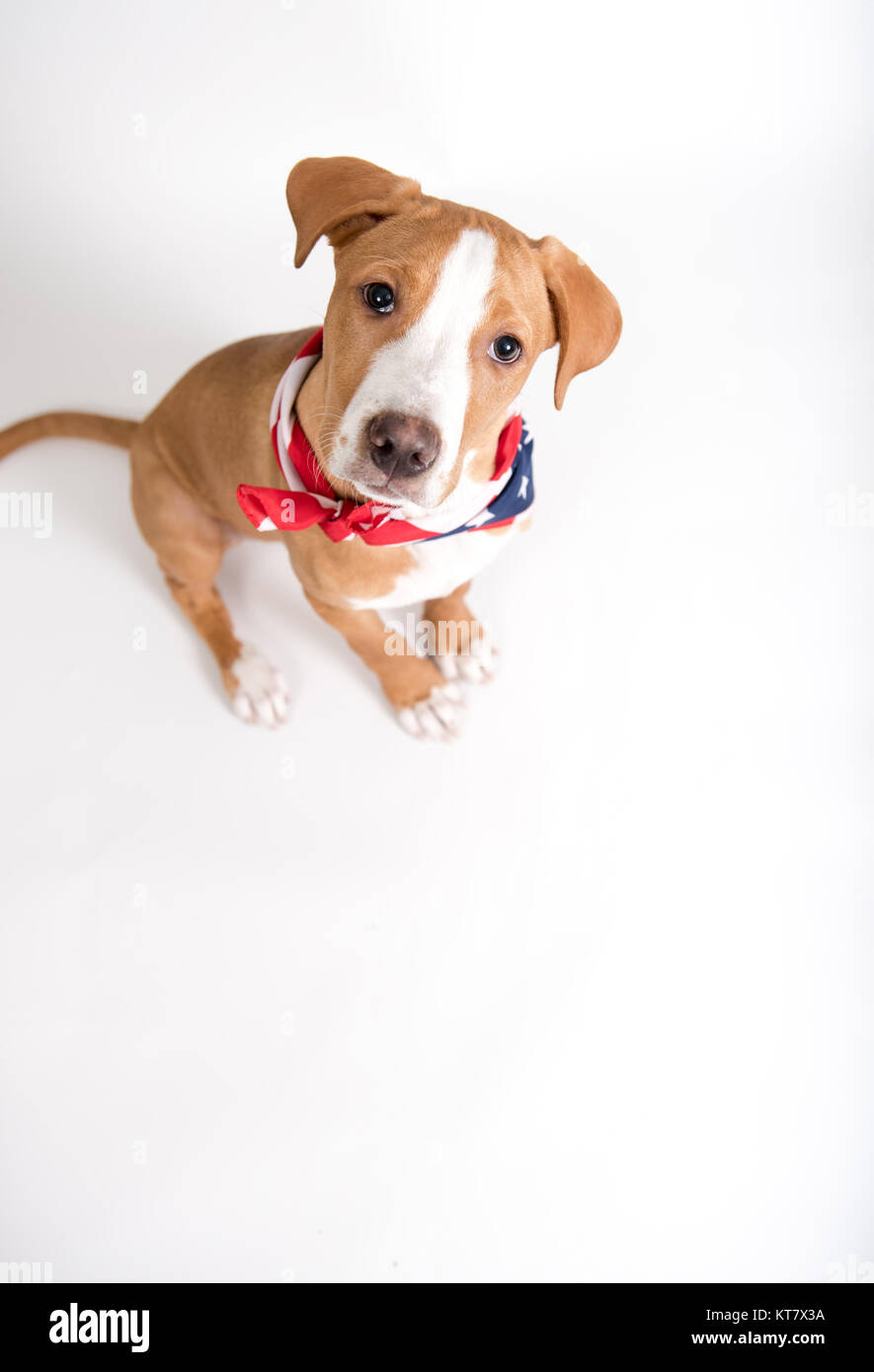 Adorable Fawn Colored Mixed Breed Puppy Wearing American