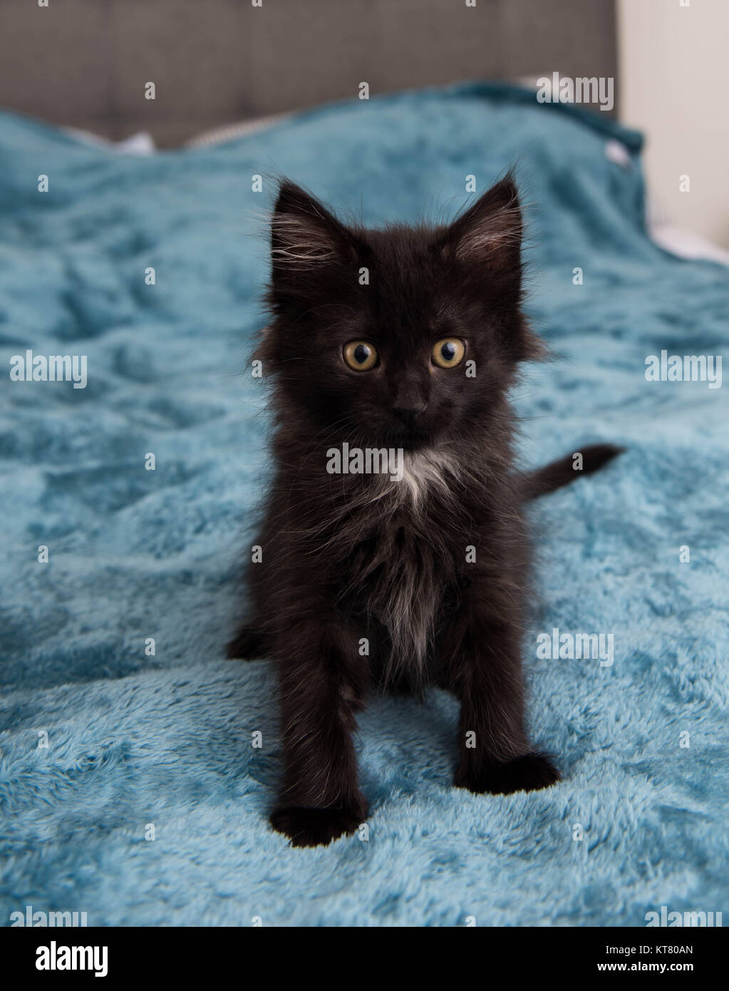 Small Fluffy Black Kitten Playing On Fuzzy Teal Blanket