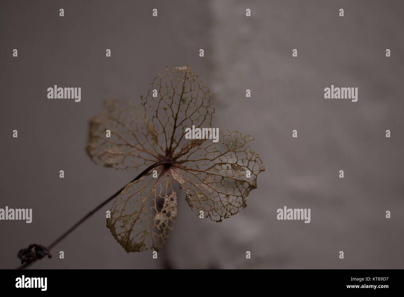 hydrangea - Stock Image