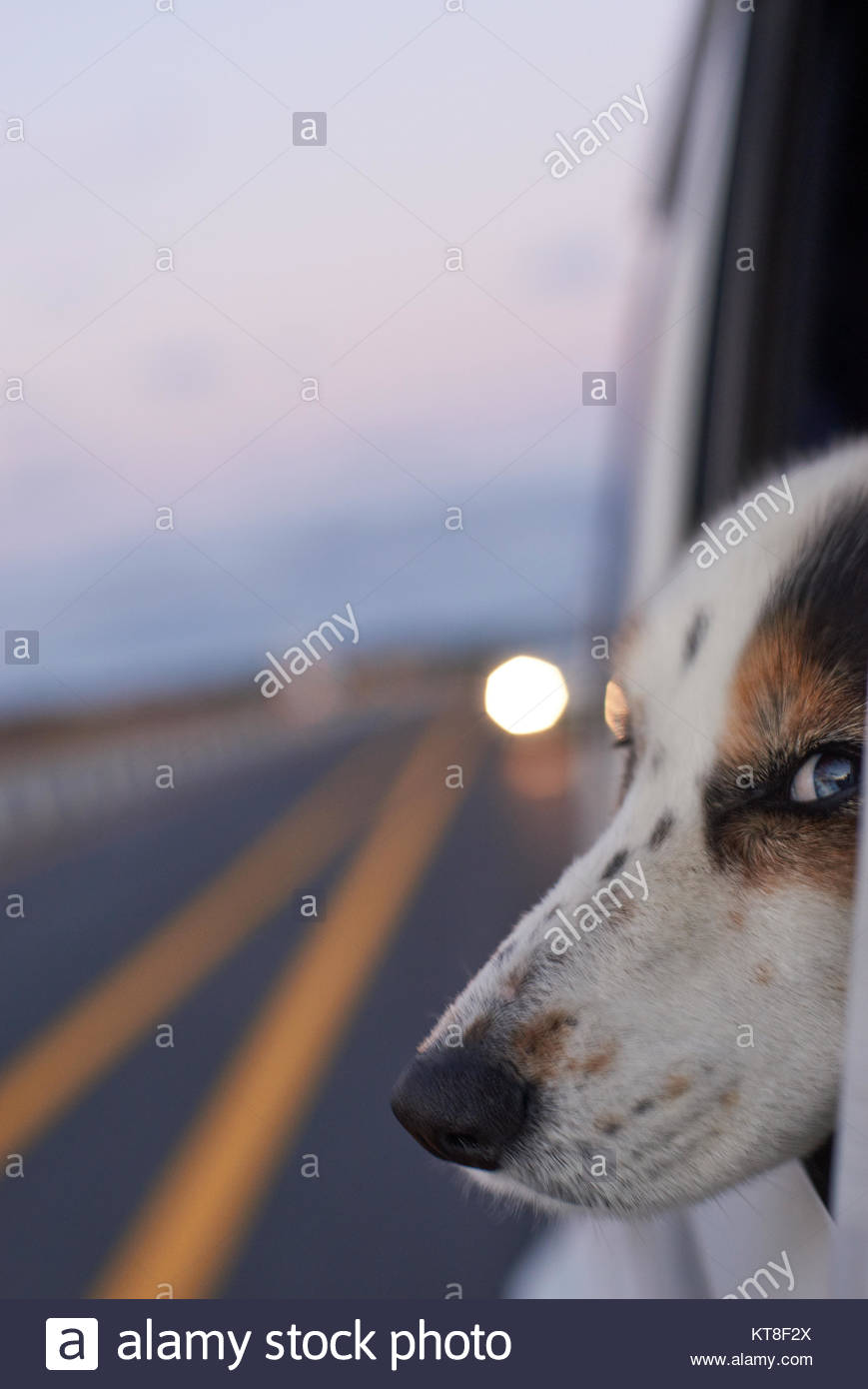 A Border Collie(Canis lupus familiaris) looking into the wind, from out of the car side-window; with road lines - Stock Image