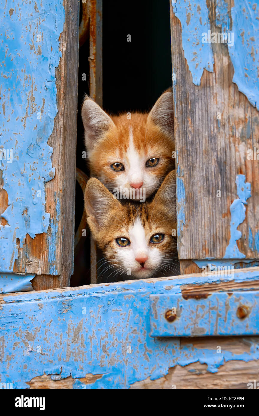 Two curious baby cat kittens peering out of an old blue wooden window shutter with prying eyes, Lesvos, Greece. - Stock Image
