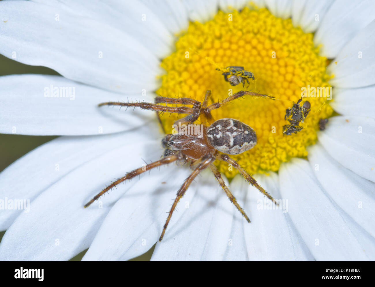 Bordered Orbweaver Spider (Neoscona adianta) Male. Orb weaver Spider. Sussex, UK - Stock Image