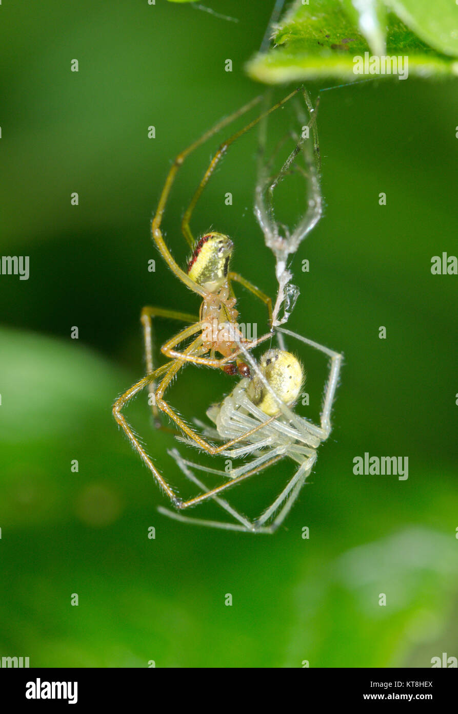 Candy striped Spider (Enoplognatha ovata - latimana) Mating pair of spiders 2 of 2. Sussex, UK - Stock Image