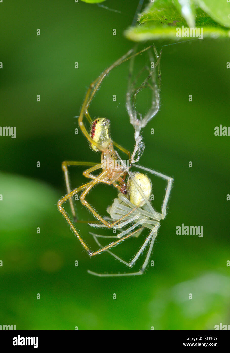 Candy striped Spider (Enoplognatha ovata - latimana) Mating pair of spiders 1 of 2. Sussex, UK - Stock Image