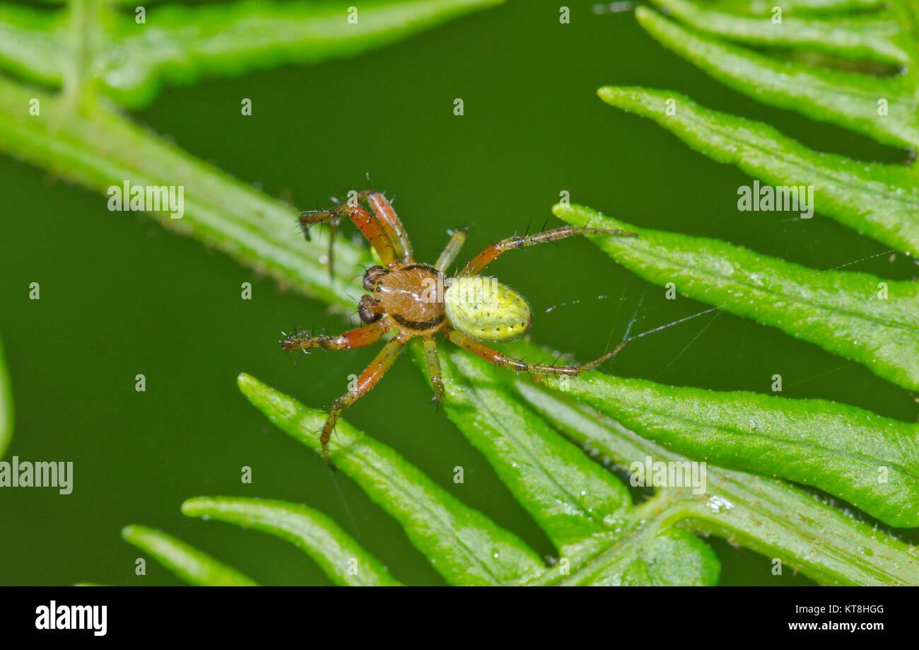 Green Orb Spider (Araniella cucurbitina) Male. Orb weaver Spider. Sussex, UK - Stock Image