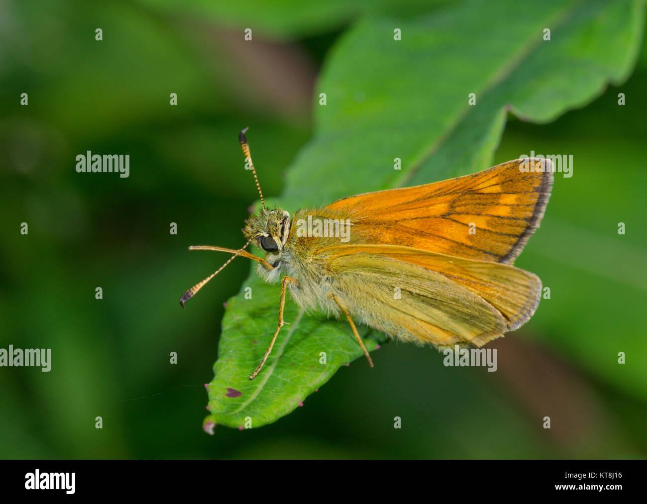 Fresh Large Skipper Butterfly (Ochlodes sylvanus) Female cleaning antenna. Sussex, UK Stock Photo