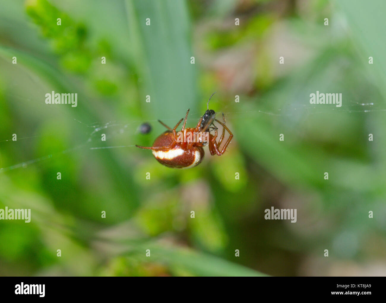 Hypsosinga sanguinea eating prey - Female Orbweaver Spider. Araneidae. Sussex, UK - Stock Image