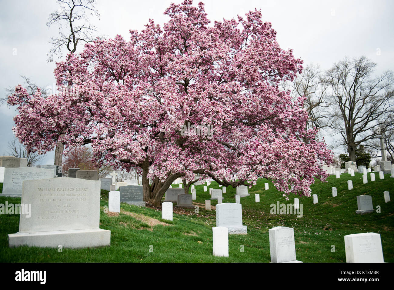 A Saucer Magnolia Tree Blooms In Section 3 Of Arlington National