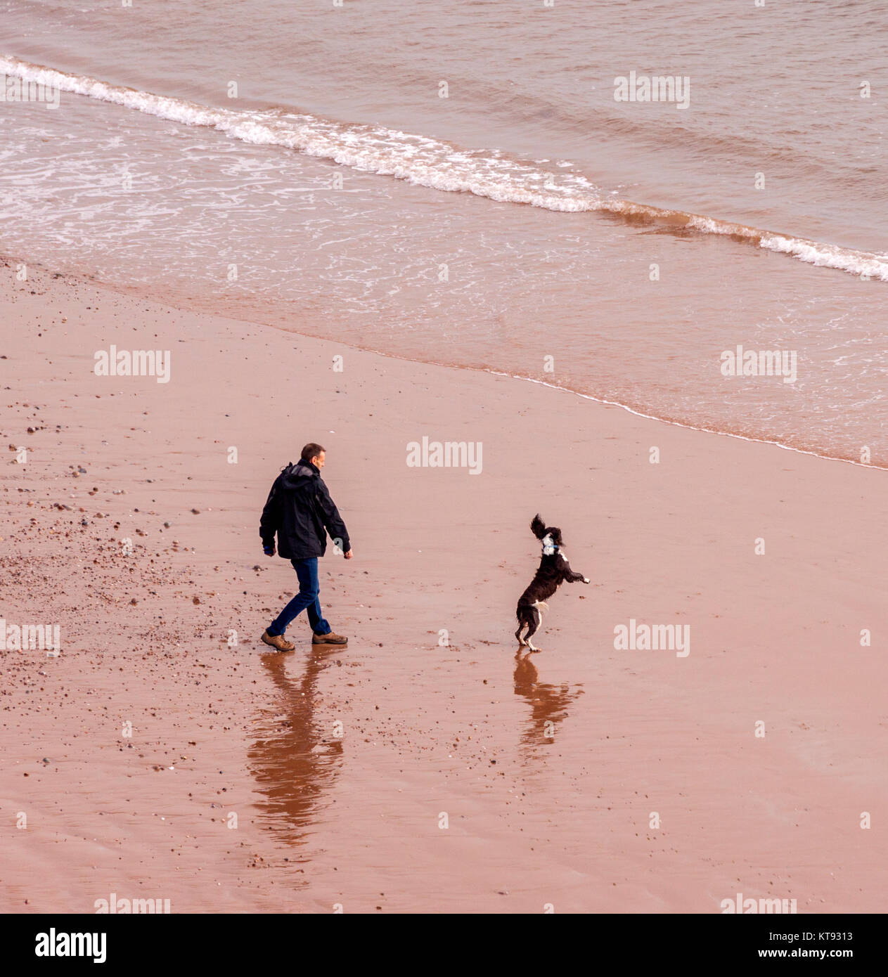 Sidmouth, Devon. 23rd Dec, 2017. UK Weather: A man walks his dogs on the beach atSidmouth, Devon on a mild and calm - Stock Image