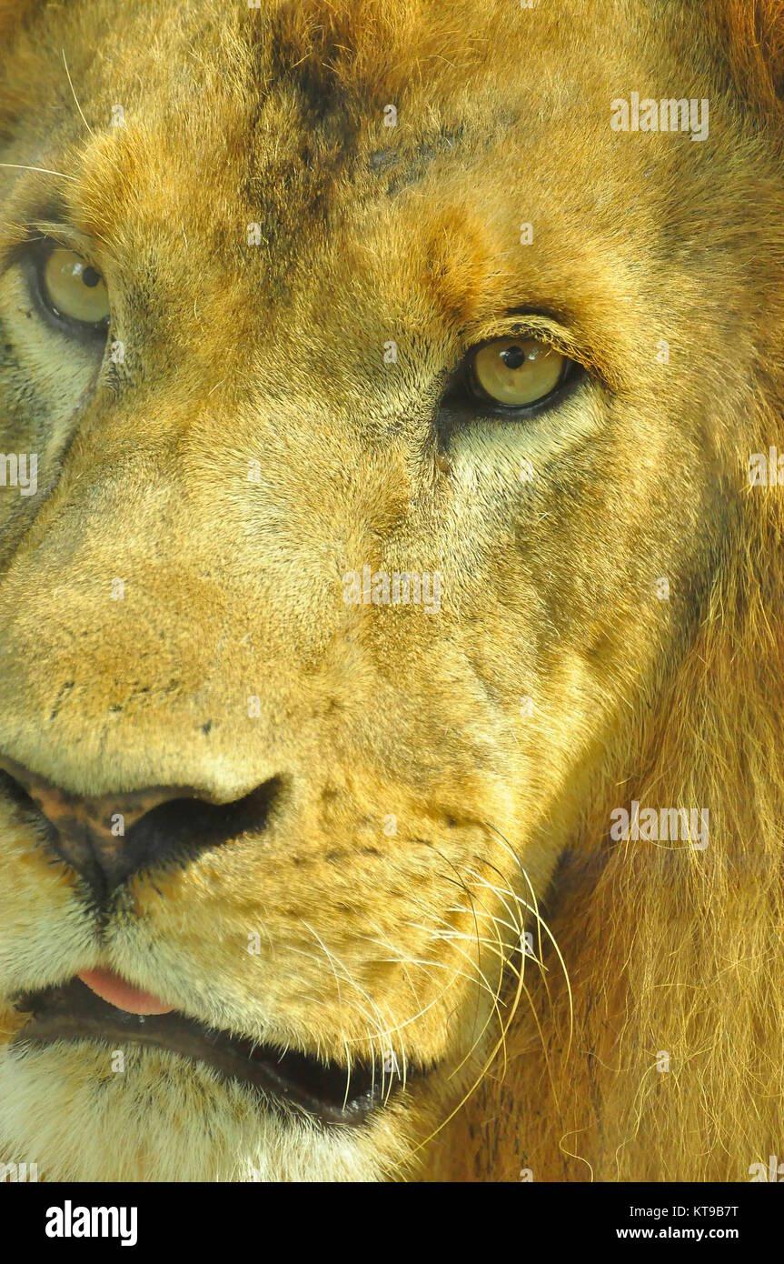 Male lion close up - Stock Image