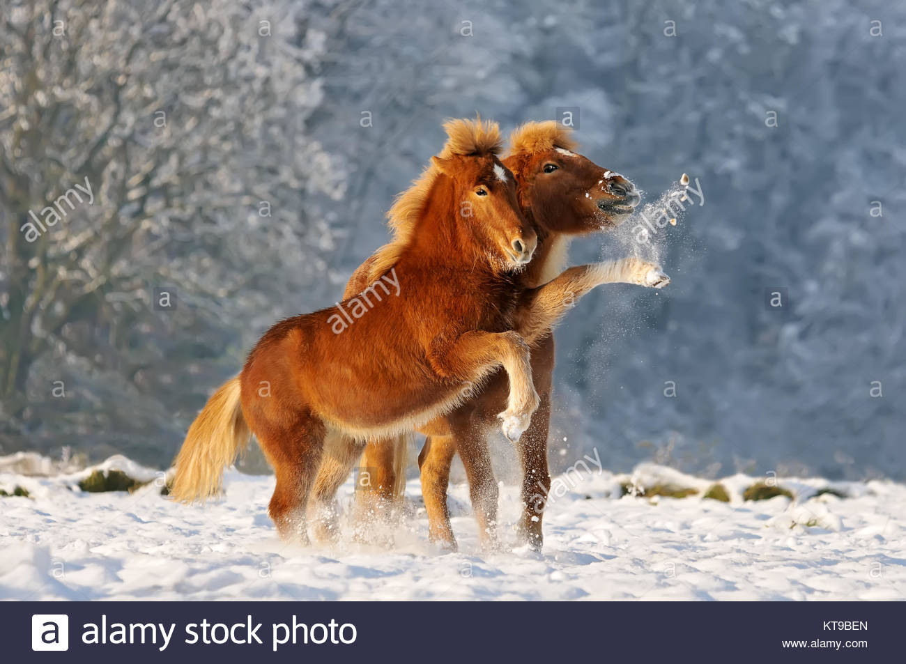 Two Icelandic horses, a foal and its mommy playing snowball fight in a snowy winter landscape, Germany - Stock Image