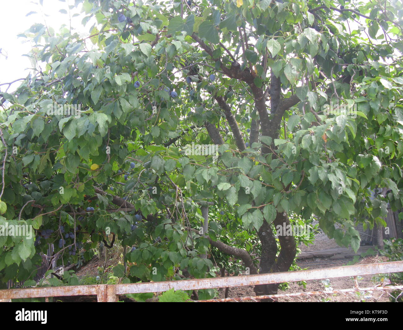 Ripeing drains on the drain tree in the fruit orchard - Stock Image