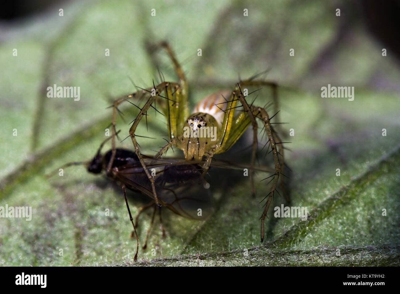 Lynx Spider with its prey Stock Photo