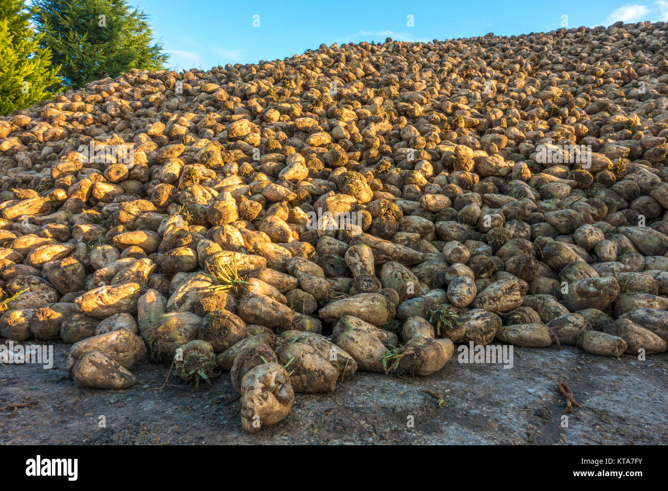 A heap of mature sugar beet plants, newly harvested in autumn, picking up the early morning sunlight, in rural Lincolnshire, - Stock Image