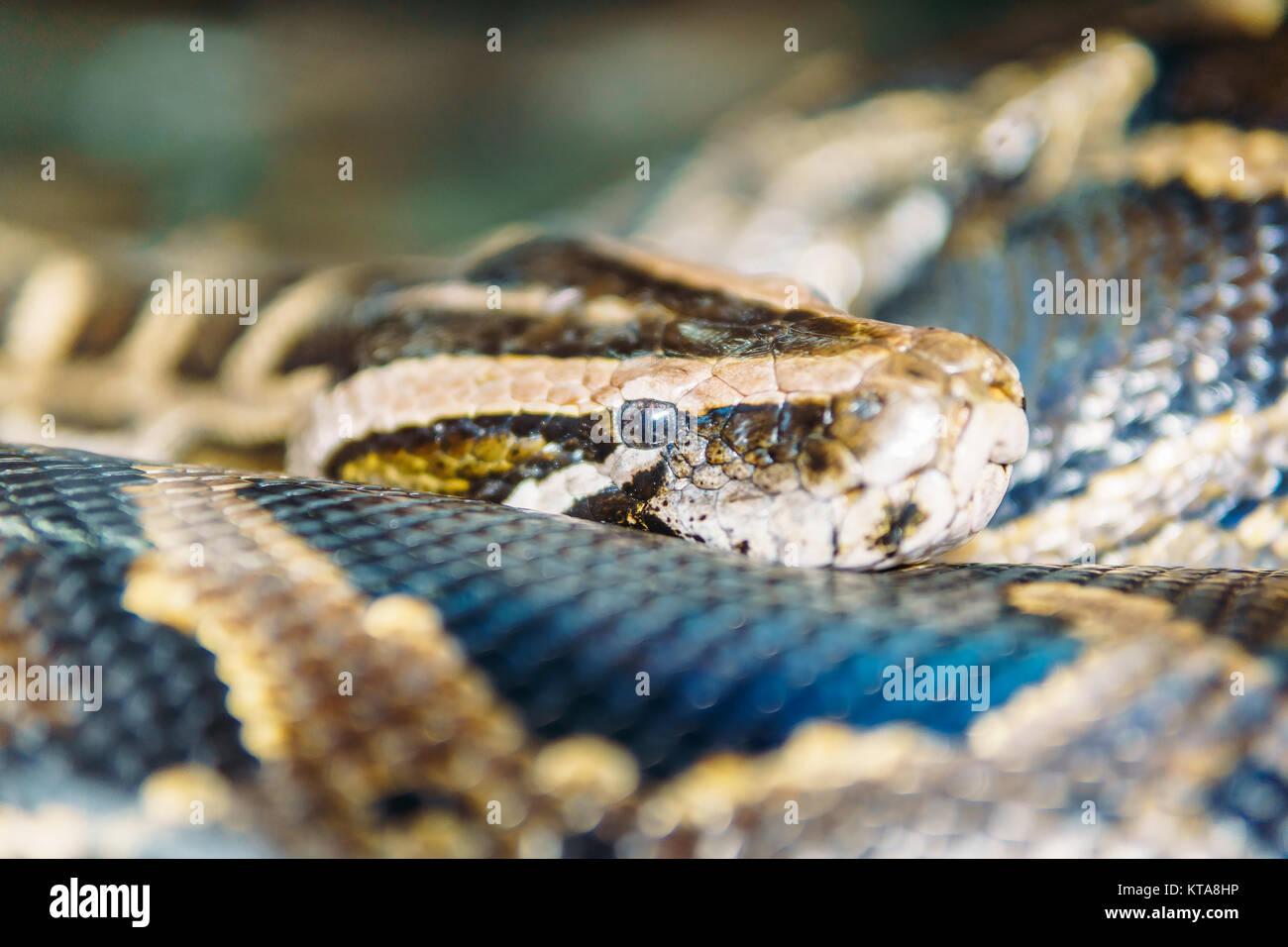 Snake Head Closeup - Stock Image