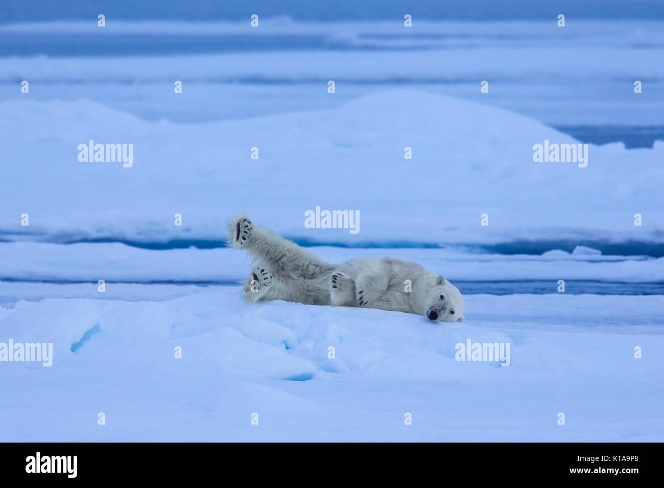 Solitary polar bear (Ursus maritimus / Thalarctos maritimus) resting on ice floe in Arctic ocean - Stock Image