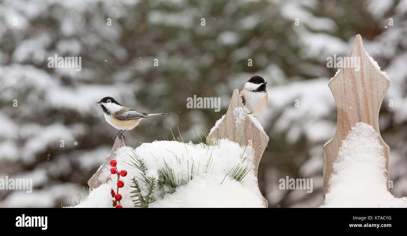 Black-capped chickadee - Stock Image