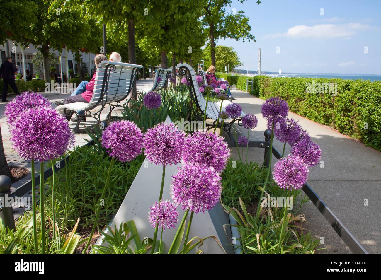 Allium flowers (Allium giganteum) at the beach promenade of Binz, Ruegen island, Mecklenburg-Western Pomerania, - Stock Image