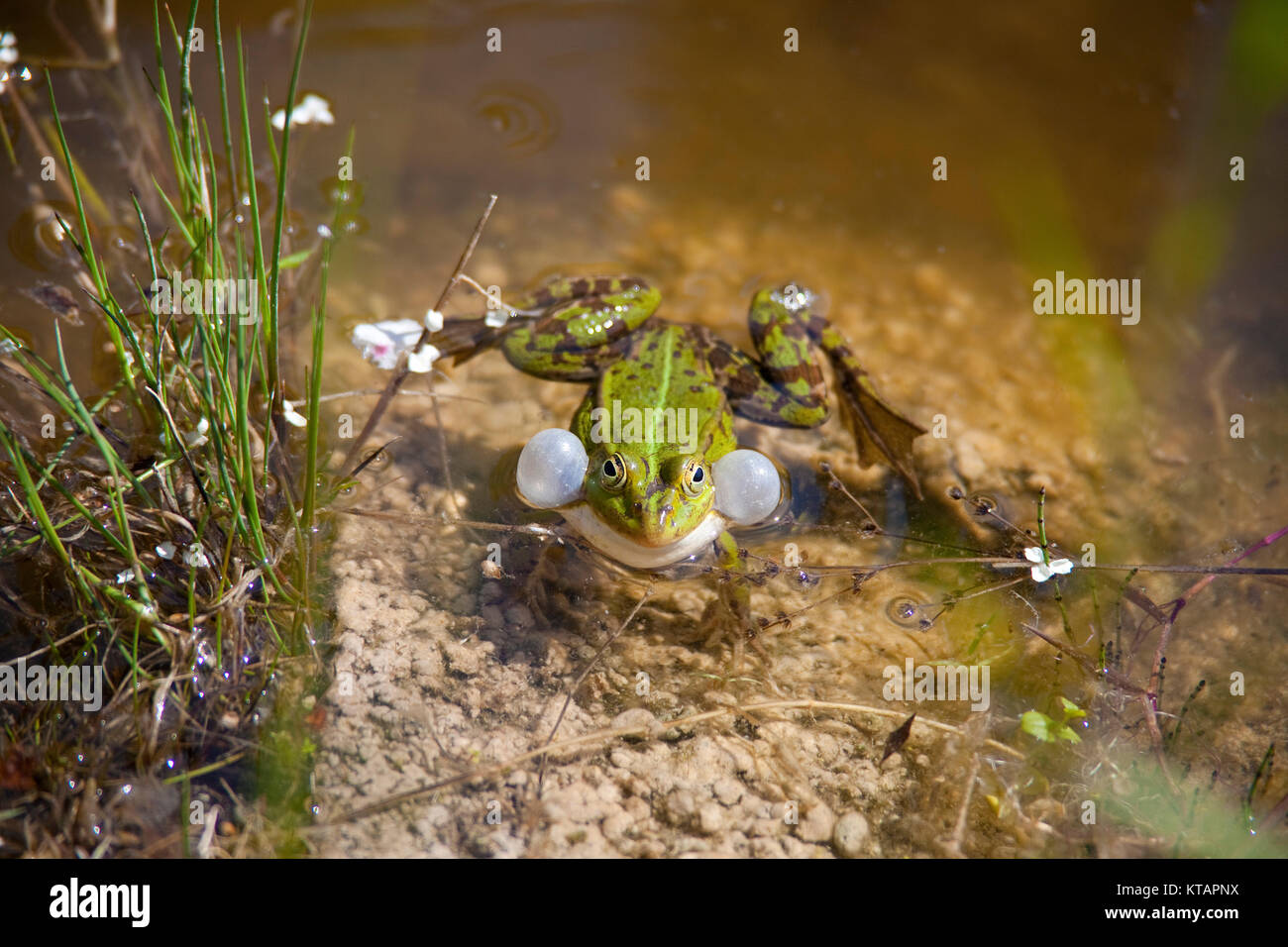 Edible frog, Common water frog (Rana kl. esculenta), also named green frog, in a pond at Middelhagen, Moenchgut, - Stock Image