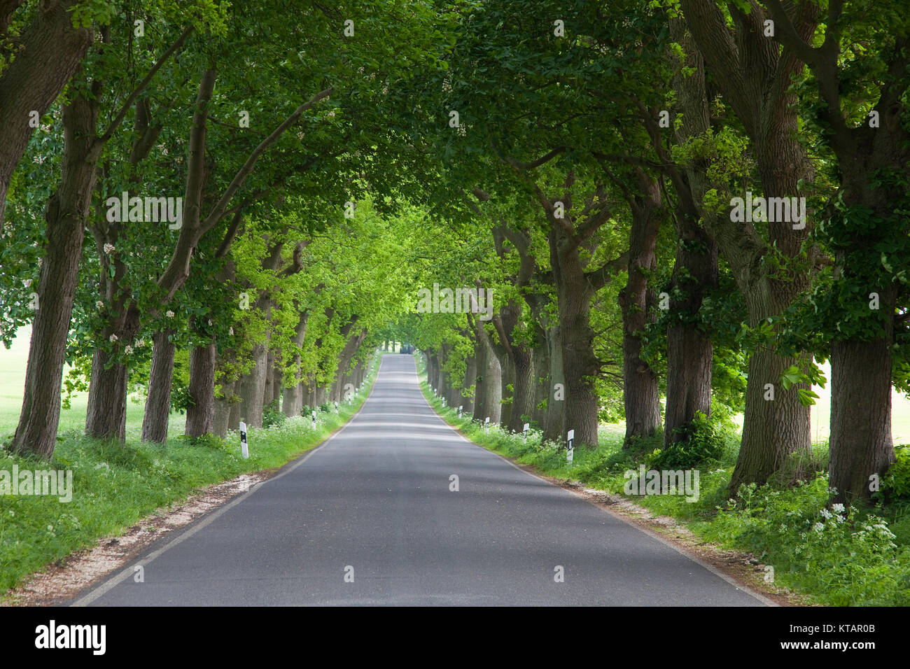 Grove, tree-lined road at Putbus, Ruegen island, Mecklenburg-Western Pomerania, Baltic Sea, Germany, Europe - Stock Image