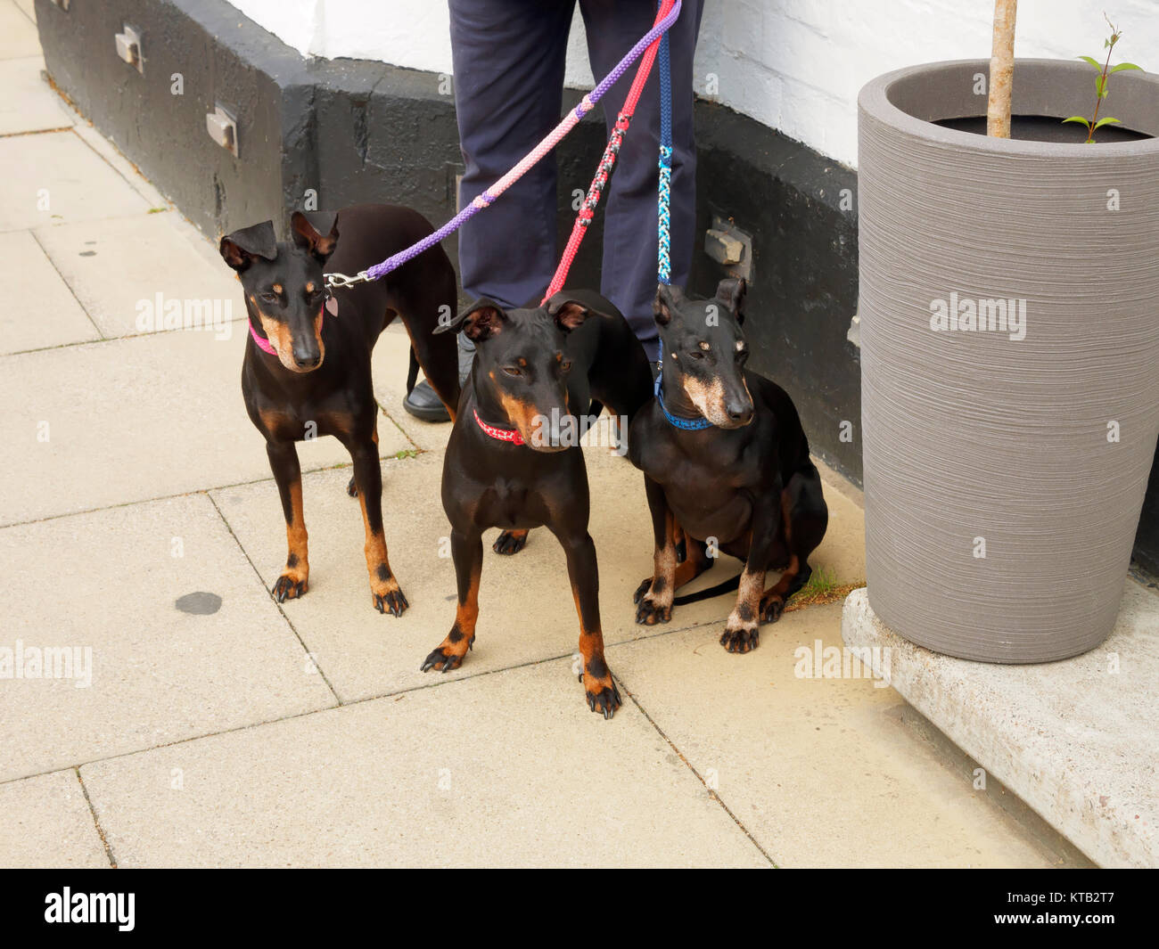 Three Miniature Pinscher dogs out for a walk - Stock Image
